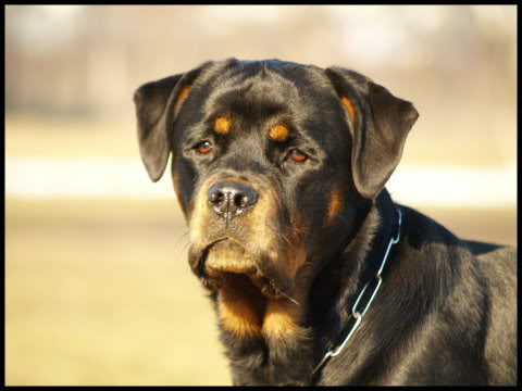 Rottweiler - One of my favorite breeds