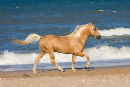 Ivory Pal - He is a Palonimo Tennessee Walker Stallion. He is gorgeous!