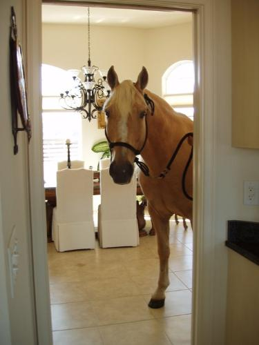 In the house! - Ivory Pal is such a calm horse and well trained,he can be brought into his owners house!