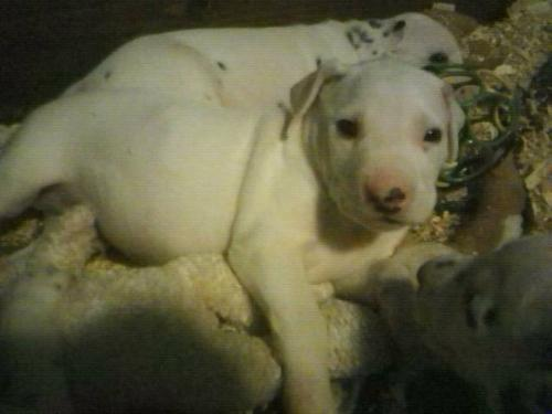 Mater - Mater is a mostly white dalmation puppy. He is getting some spots and they will be liver colored spots.