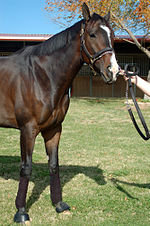 Lava Man - A dark bay TB Gelding who is a gradson of Seattle Slew. He won 47 races and was retired in 2007. His owners unretired him in 2008 and then again in 2009 after he did badly with his come back. He now is used as a track pony by his old trainer!