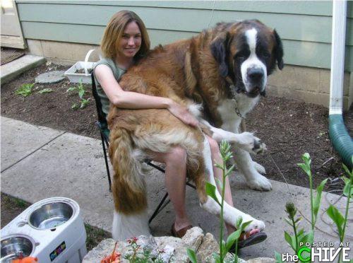 Lap Dog - This Saint Bernard wants to be lap dog! LOL!