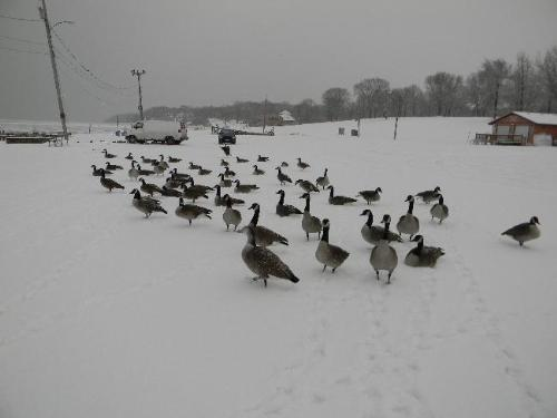 Geese - Candanian Geese in the Wisconsin snow.