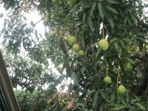 Fruit Bearing Tree - Trees can refresh environment