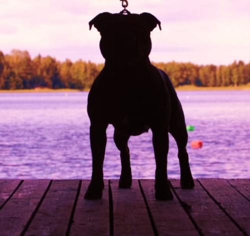 Stafforsdhire Bull Terrier - English Staff - an old breed that I like
