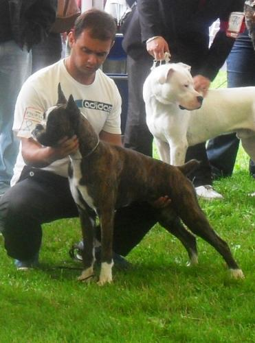 Boxer puppy - at CACIB Sibiu 2011