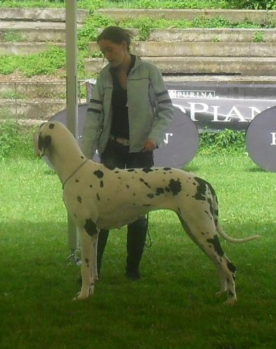Great Dane - at CACIB Sibiu 2011
