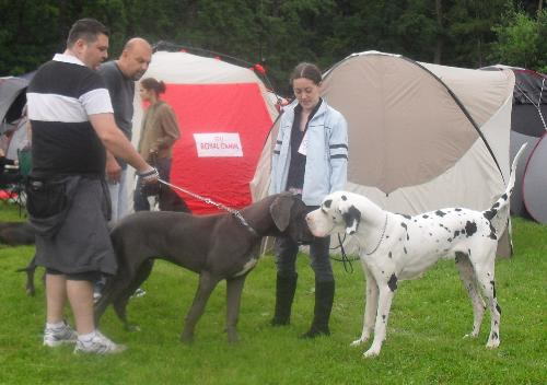 Great Danes - at CACIB Sibiu 2011
