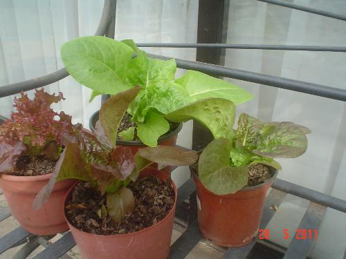 My lettuce - I planted them in containers at first, but ow I placed them n the soil with a cover against frost.