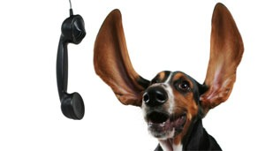 Its for you! - I love the way the Bassets Hounds ears up so high! It is cute photo!