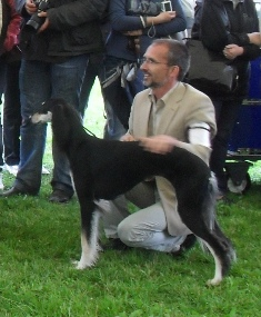 Saluki - at CACIB Sibiu 2011