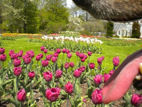 Taken through the mouth of My Dog  - This shot was to be of the tulips, until my dog stepped in front of the lens. Now it has a little more.... tongue