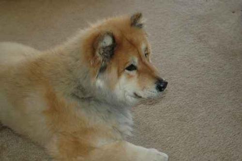 Husky Cross Chow