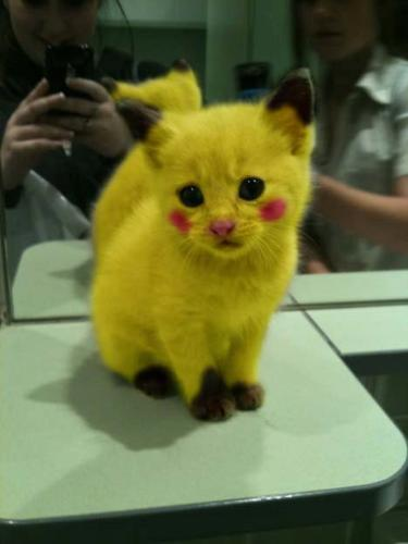 omg! - Someone painted up this kitten to look like Pokeman's Pichacu!