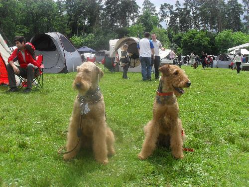 Airedales - At CACIB Sibu 2011