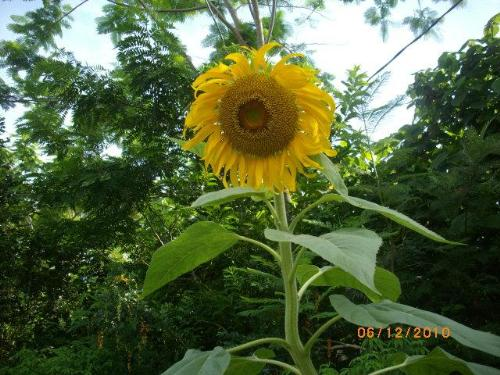 Sunflower - Sunflower in my garden