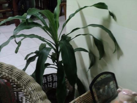 Fortune Plant - Fortune Plant Indoor