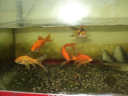 Fish Behavior - Gold fish swim