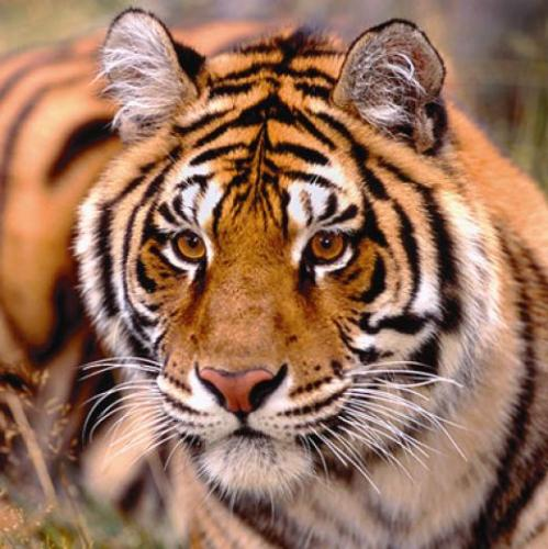 Tiger - Easily recognized by its coat of reddish orange with black dark stripes. tigers are known to be the largest wild cats. weighing around 720 pounds The powerful predator hunt mostly alone.