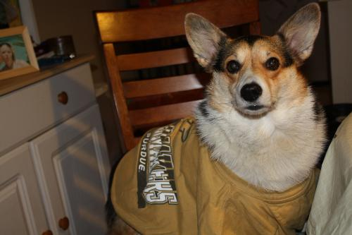 Aine my other corgi - Aine in her Boiler shirt