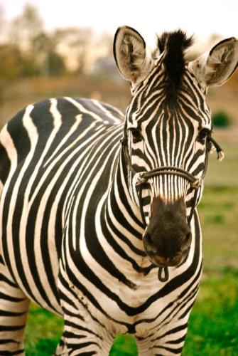 Zebra - A pet Zebra. I will never understand why someone would want one!