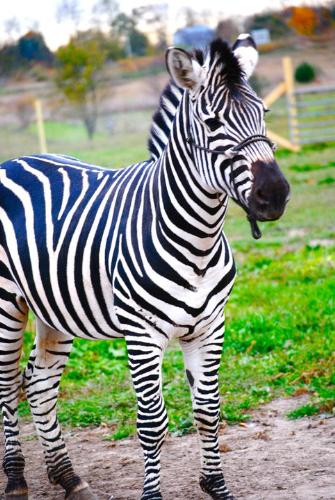 Pet Zebra - The pet Zebra looks like his stripes look blue in this photo!