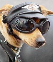 Biker dude - This dog is ready for a motorcycle ride on a Harley!