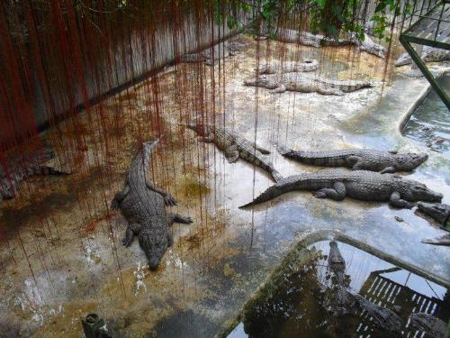 Exotic animals - Crocodiles on the Cage