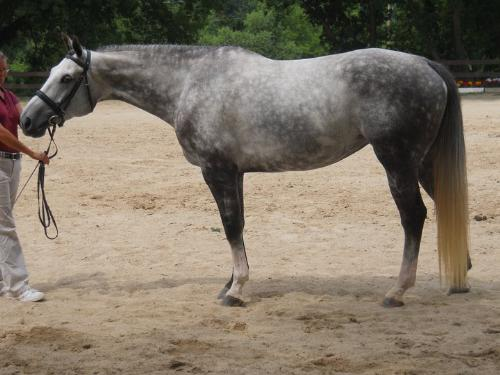 Ballereen - Ballereen is a American Warmblood. She is half Hanoverian,1/4 Selle Frances and 1/4 Holstiener. She was judged by a Belgian Warmblood judge a week ago to see if she would qualify to be breed to a Begian Warmblood stallion. She passed and if she is breed to a Beligan Warmblood stallion in the future the foal can be registered under them! Warmblood registeres are very confusing!