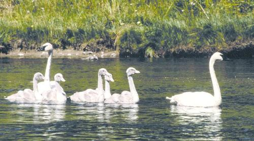 Trumpeter Swans - A family of Trumpeter swans. Beautiful birds!