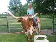 Steer - This Longhorn Steer has been trained to ne ridden! Cool!