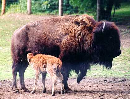 Bison with a calf - A mother Bison and her calf.