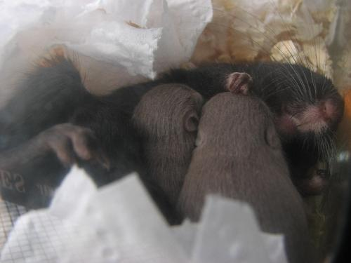 Gerbils sleeping - These are the 2 gray boys. The one on the left is the runt of the litter.