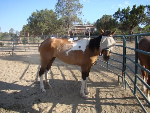 Paint mare - This mare's name is 57 Chevy of all things!