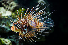 Lion Fish - They are not native to waters off the USA. they have become a invasion species to the waters off the east coast. Someone let some Lion Fish that were in aquarium out to sea once. The Lion Fish produce ever few days making matters worse!