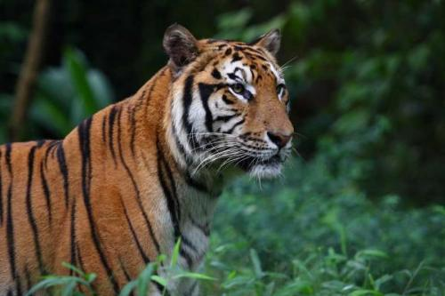 Sumatran Tiger - The most endangered spieces of Tigers.