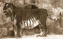 Caspian Tiger - This sub-species of tiger that is extinct.