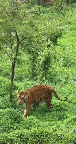 Bengel tiger - They live in India and some parts of Nepal.