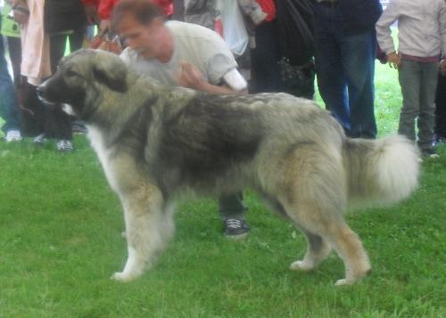 Romanian Shepherd - Carpatin - at CACIB Sibiu 2011