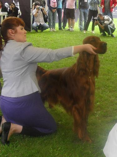 Irish Setter - at CACIB Sibiu 2011