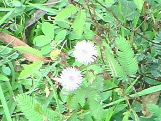 flowers - this is mimosa pudica in bloom. a wild thorny plant that grows anywhere. it protects itself from enemies by its thorns and by closing its leaves when touched.