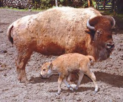 Mom and Calf - A bison with her calf.
