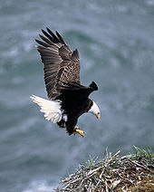 Bald Eagle - A Bald Eagle landing on its nest.