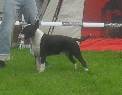 Bullterrier - at CACIB Sibiu 2011