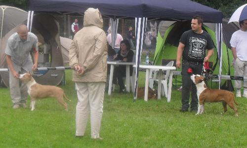 Dog show judging - Amstaff - at CACIB Sibiu 2011
