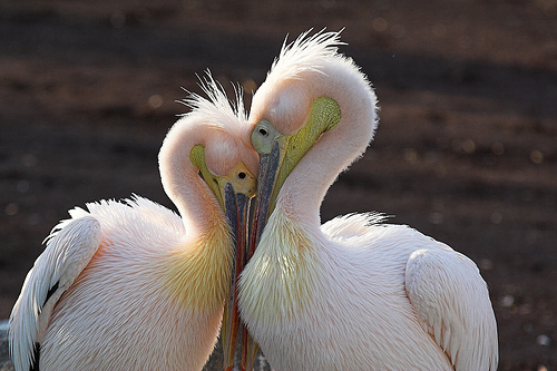 Love birds - The picture shows the intimacy of two swans . They are deeply in love with each .Each complement the other . There is so much of harmony and innocence in their loving posture . Soothing to the eyes and angelic at the same time .