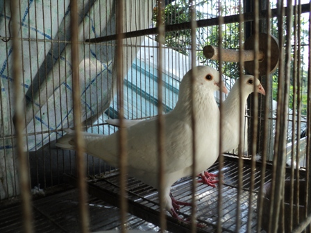 Two of my Doves - Doves on Cage