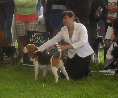 Beagle - at CACIB Sibiu 2011