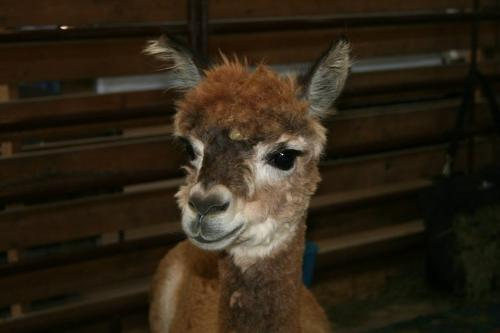 Alpaca - A recently shaved Alpaca at the Wisconsin State Fair.