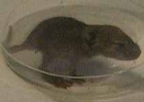 Mouse - The baby mouse I caught inside of a cup.